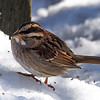 White-throated Sparrow, Van Cortlandt Park