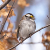 White-throated Sparrow at Van Cortlandt Park