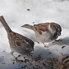 White-throated Sparrow, House Sparrow - Van Cortlandt Park