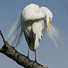 Great Egret at Marshlands Reserve