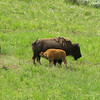 2014 LEAF Interns with The Nature Conservancy in Wyoming - Yellowstone National Park - Bison