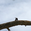 JD Dam - Acorn Woodpecker