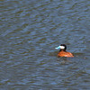 JD Dam - Ruddy Duck