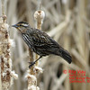 Red-winged Blackbird - Apr 17/14 - Dartmouth, NS