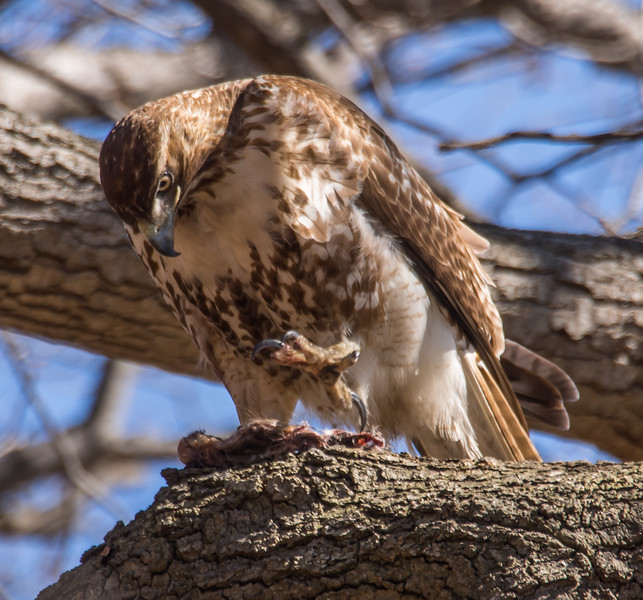 REd-tail Hawk with Prey in Pelham Bay Park