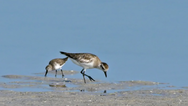 Western Sandpiper, left; Black-bellied Plover, right (Tigertail Beach)