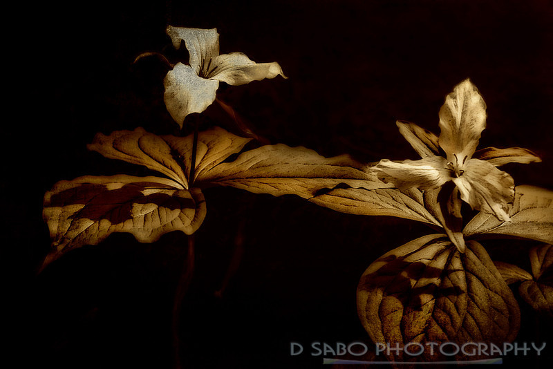 """Reaching Out""  Trillium wildflower abstract"