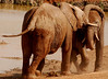 Struggle of the Young Titans (3):  Adolescent Addo elephants test their strength at a water hole.