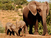 Learning to Share: Twin elephants vie for the same square centimeter of interesting ground in the 1,640 square kilometer Addo Elephant National Park, South Africa.