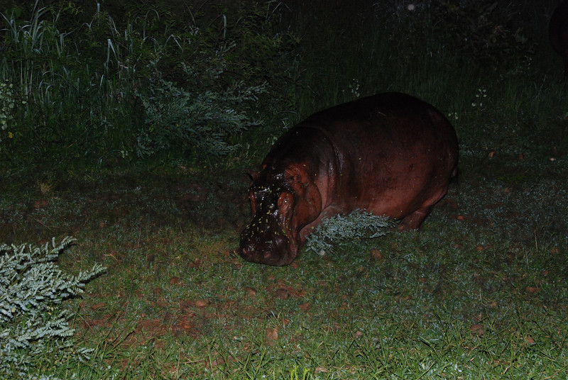 Night Hippo: While grazing on a rainy night, a distrurbed hippo swings around ready to charge.