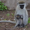 Monkey Mother and Child 3