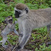 Monkey Mother and Child 4