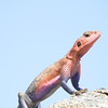 Colorful Agama Lizard 3