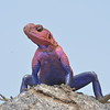 Colorful Agama Lizard 2