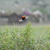 Southern Red Bishop in Flight 1