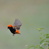 Southern Red Bishop in Flight 2