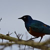 Superb Starling on its Thorny Perch 1