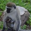 Monkey Mother and Child 1