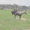 Bucking Wildebeest