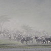 Wildebeest Migration 5