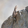 Grey Agama Lizard