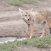 Golden Jackal 3