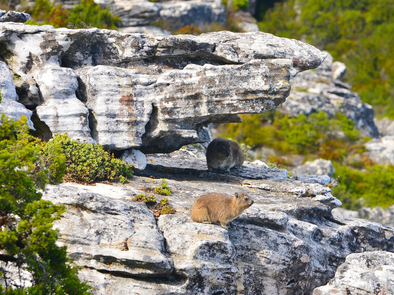 A Rock Hyrax (Procavia capensis; locally called a Dassie) keeps watch near the broad summit of Table Mountain, Cape Town, South Africa.