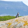 Jackass Penguin (Spheniscus demersus) at Boulder Beach near Cape Town South Africa (1).