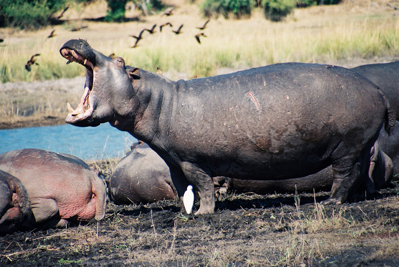 Chobe Challenge: A battle-scarred veteran demonstrates his displeasure when our boat approaches his island in the Chobe River, Botswana, just above the Chobe's confluence with the Zambesi River.