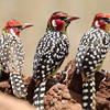 Red and Yellow Barbet (Trachyphomus erythrocephalus) 3