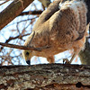 A juvenile Tawny Eagle inspects a branch where an insect or lizard has hidden