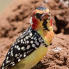 Red and Yellow Barbet (Trachyphomus erythrocephalus) 2