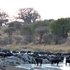 Buffalo herd watering at dusk in the Tarangire River beneath Baobabs.