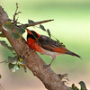 Red headed Weaver (Anaplectes rubriceps) at Sopa Lodge