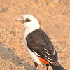White Headed or Buffalo Weaver (Dinemellia dinemelli) 1