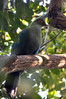 Schalow's Turaco (Tauraco schalowi) in a tree overlooking the Devil's Cataract of Victoria Falls (Zimbabwe side).