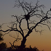 An African Fish Eagle (Haliaeetus vocifer) stands vigil over its nest at sunset in the Okavango Delta