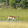 Female Red Lechwe (Kobus leche) runs with typical posture in typical habitat