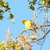 African Green Pigeon (Treron calva) in a wild fig tree