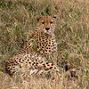 Cheetah in Grass Sqr