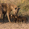 Tiny Hyena Cubs