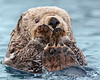 "This photograph of a Sea Otter was captured in Kenai Fjords National Park, Alaska (8/13).   <FONT COLOR=""RED""><h5>This photograph is protected by the U.S. Copyright Laws and shall not to be downloaded or reproduced by any means without the formal written permission of Ken Conger Photography.<FONT COLOR=""RED""></h5>"