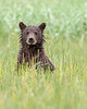 This photograph of a Brown Bear spring cub was captured in Lake Clark National Park, Alaska (8/13).   This photograph is protected by the U.S. Copyright Laws and shall not to be downloaded or reproduced by any means without the formal written permission of Ken Conger Photography.