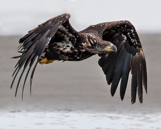 This photograph of a flying immature Bald Eagle was captured in Kenai Fjords National Park, Alaska (8/13).   This photograph is protected by the U.S. Copyright Laws and shall not to be downloaded or reproduced by any means without the formal written permission of Ken Conger Photography.