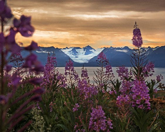 "This photograph looking across Kachemak Bay at Grewingk Glacier with fireweed in the foreground was captured near Homer, Alaska (8/13).   <FONT COLOR=""RED""><h5>This photograph is protected by the U.S. Copyright Laws and shall not to be downloaded or reproduced by any means without the formal written permission of Ken Conger Photography.<FONT COLOR=""RED""></h5>"