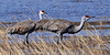 Sandhill Cranes. South Central,Alaska. #426.435. 1x2 ratio format.