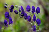 Alaskan Monkshood