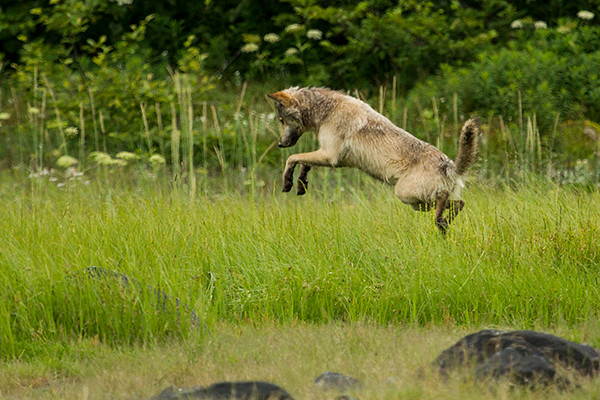 An Alaskan wolf pounces on its prey in Glacier National Park.