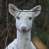 """ A Ghost of the Forest ""  Wild albino whitetail deer of Boulder Junction Wisconsin"