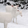 """ It's Just the Two of Us  2 ""  Wild Albino whitetail deer of Boulder Junction Wisconsin"